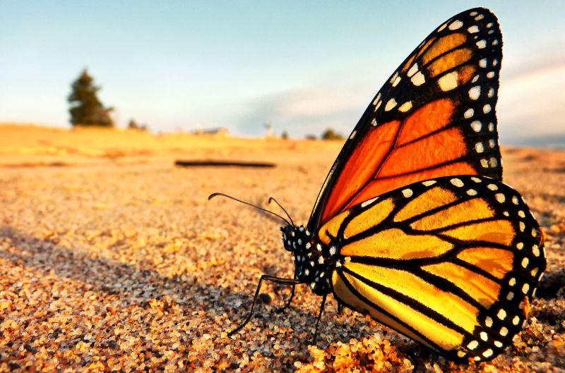 Migraciones: el vuelo de la mariposa monarca