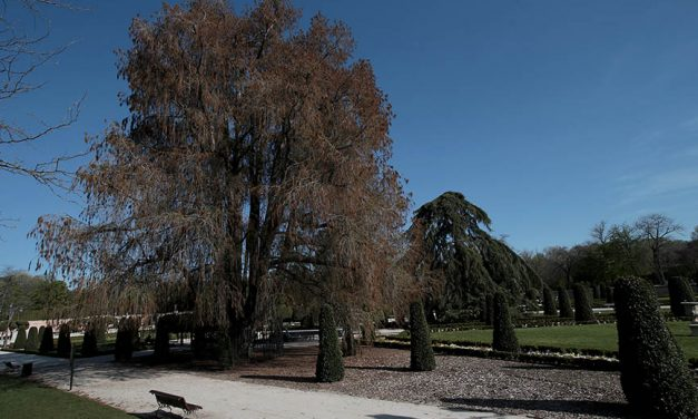 El árbol más antiguo de Madrid…¡es mexicano!