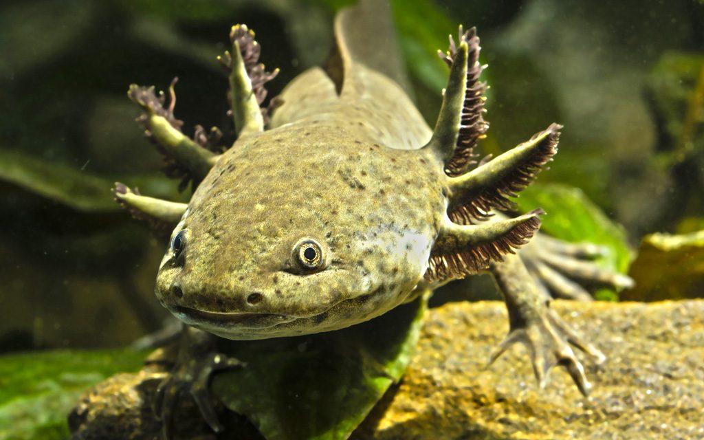 Ajolote: un anfibio símbolo de tradición y esperanza en México