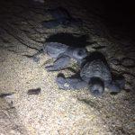 Tortugas golfinas, un tesoro turístico y medioambiental para México