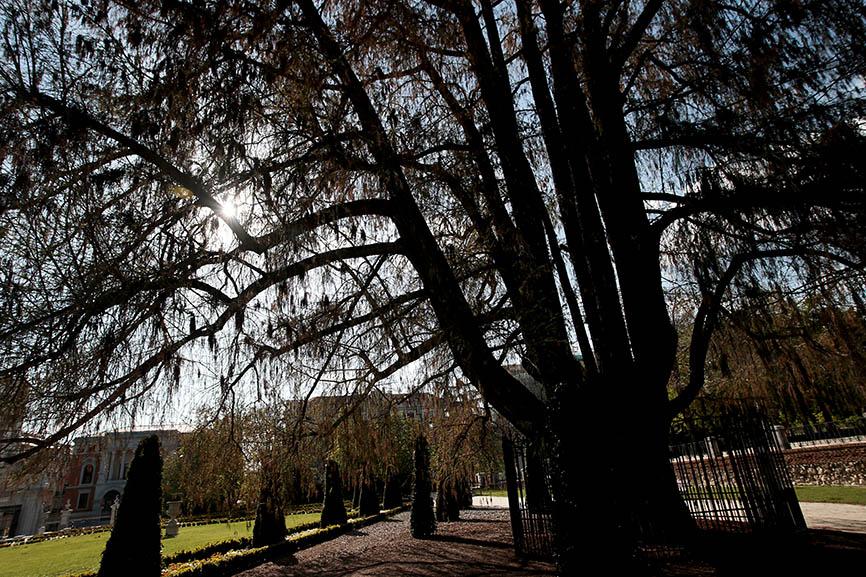 Ahuehuete mexicano el árbol más antiguo del Retiro