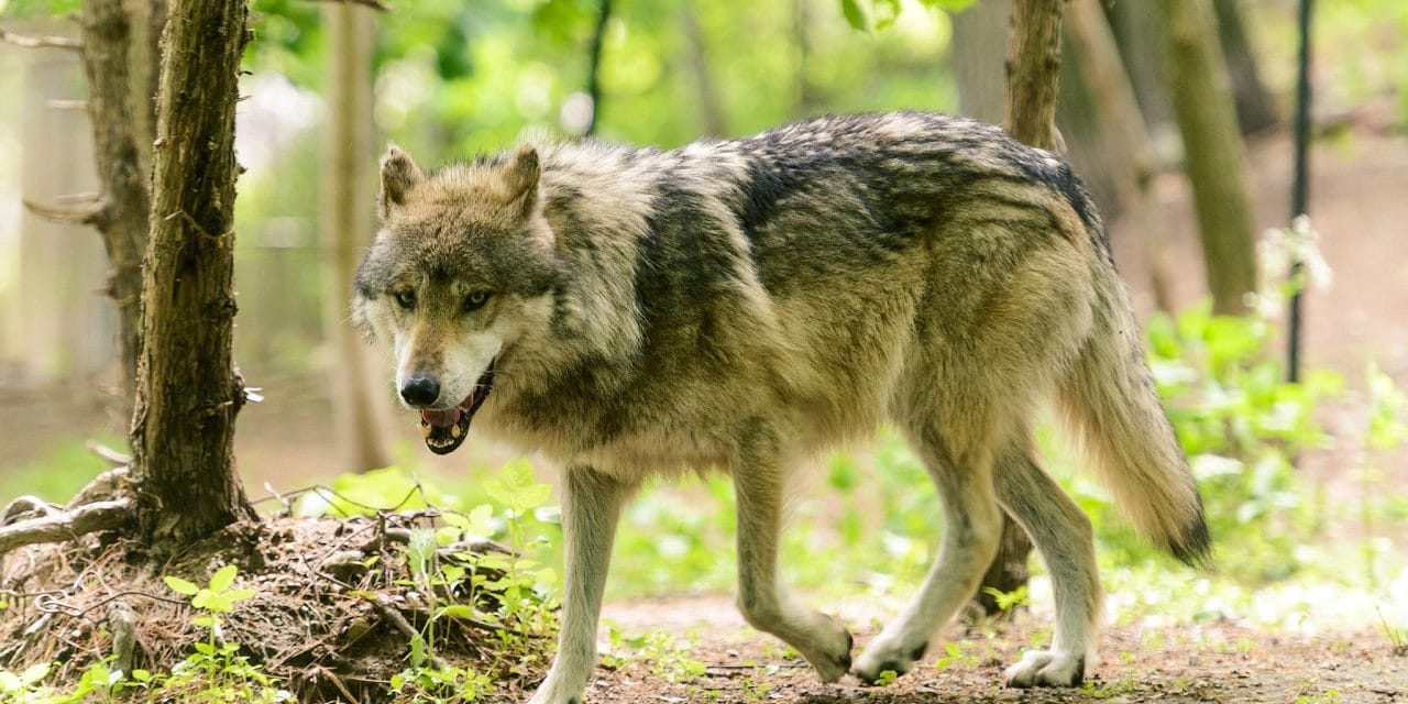 Lobo mexicano en serio peligro