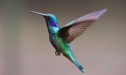 La riqueza de los colibríes mexicanos