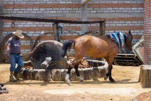 Moliendo el agave con animal